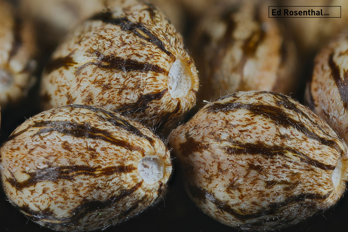 Cannabis seed photo by  Relic Seeds