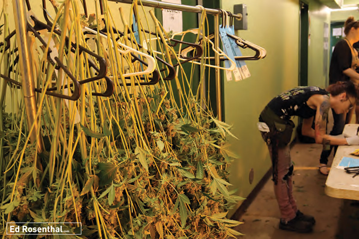 Cannabis plants are tagged on rack.