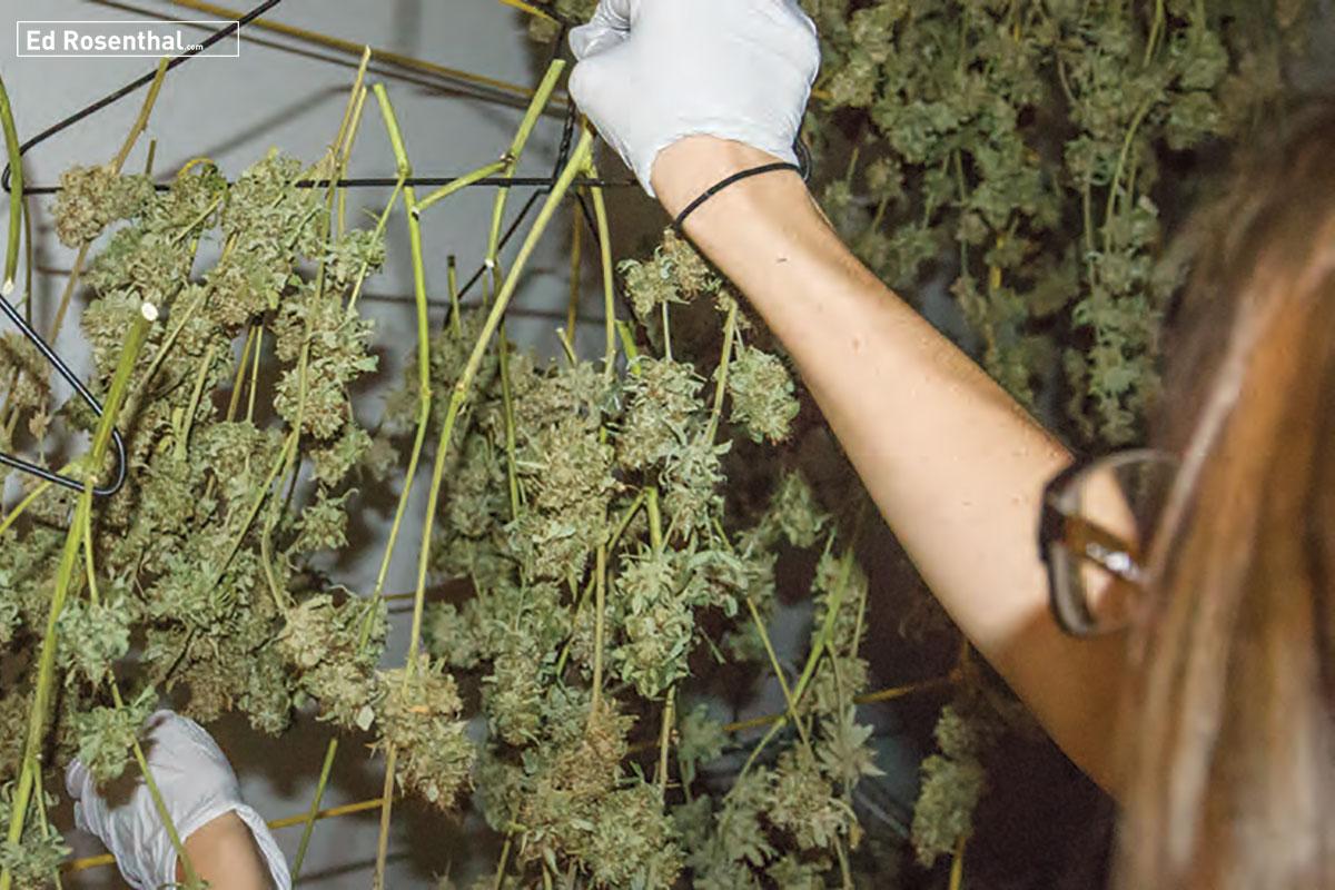 drying-cannabis-ed-rosenthal-3.jpg