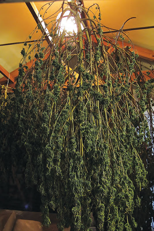 Whole plant curing. Photo by  David Downs