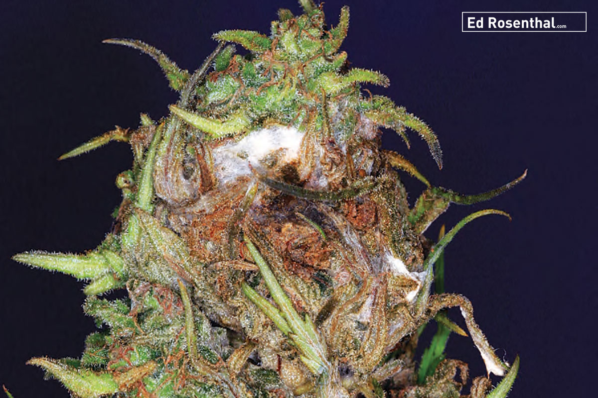 Bud is suffering from Botrytis (Brown or Grey mold) as well as powdery mildew. These are the two molds most likely to attack cannabis.
