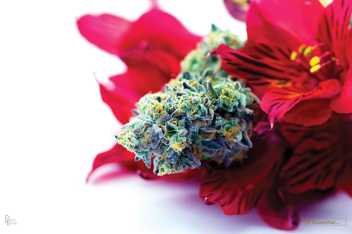 Cannabis photography by  DevilslettucePH