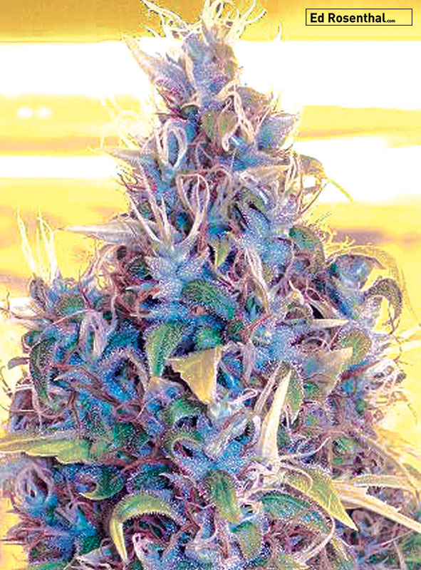 Sativa/Indica: 60/40 – Buzz: energetic, clear, trippy, floral – Taste/Smell: fresh, sweet, floral –Flowering time: 75-70 days – Parents: ♀unknown Hollands x Cubed female pollen of Ed Rosenthal Super Bud, Jack Herer and Power Plant.