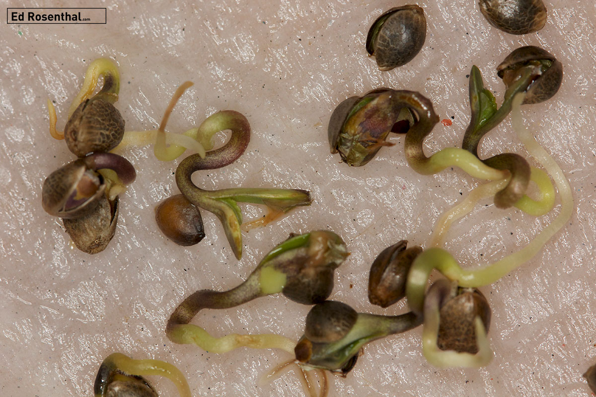 Germination begins when the root emerges from the seed. These germinated seeds are ready to plant.
