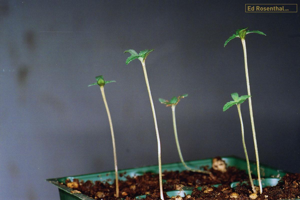 Stretched marijuana seedlings.