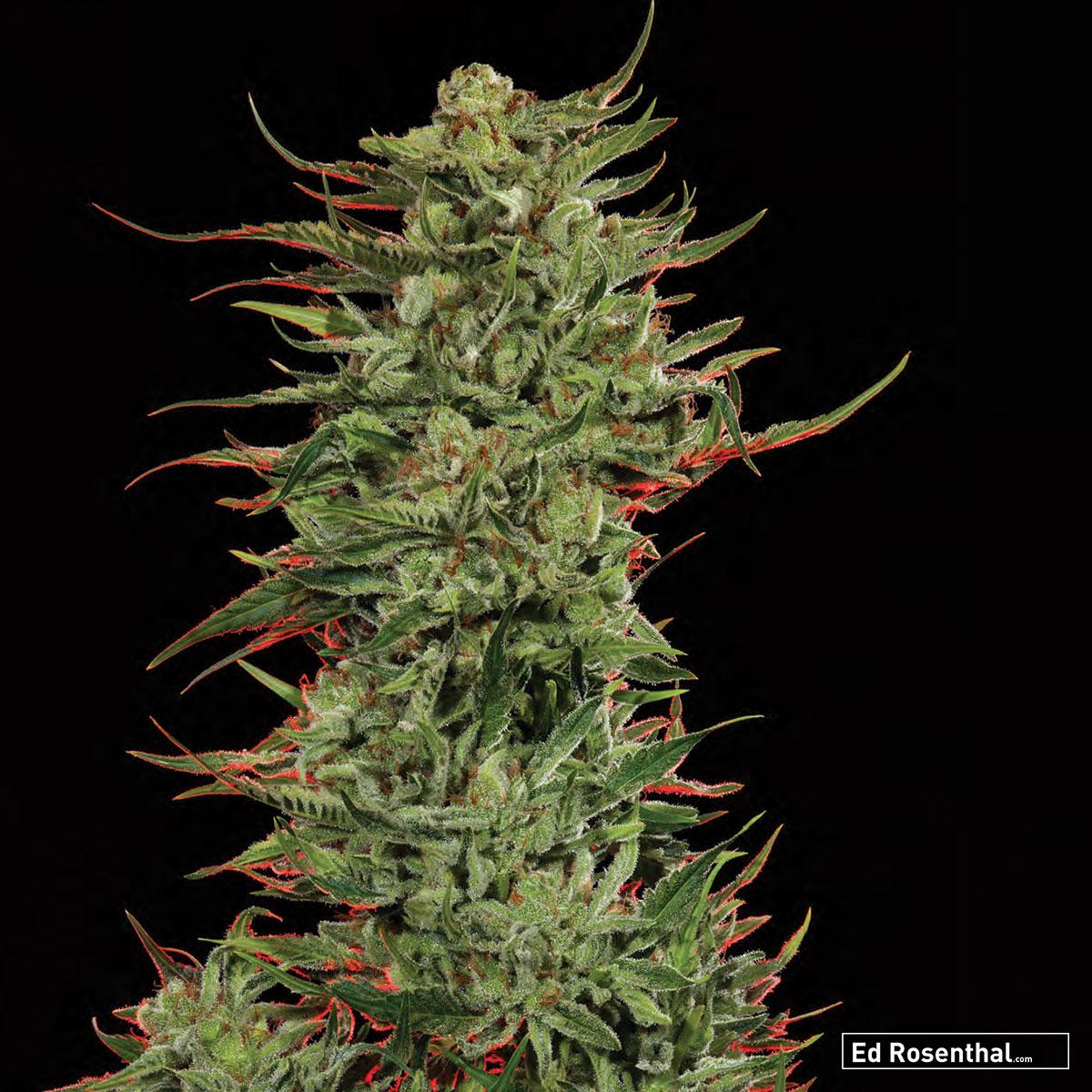 Crockett Family Farms  - 60 S / 40 I  - Dreamy, heady, relaxing  Strawberry, hash