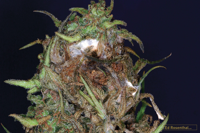 Close up of Botryotinia Fuckeliana, aka Bud Rot, on cannabis bud