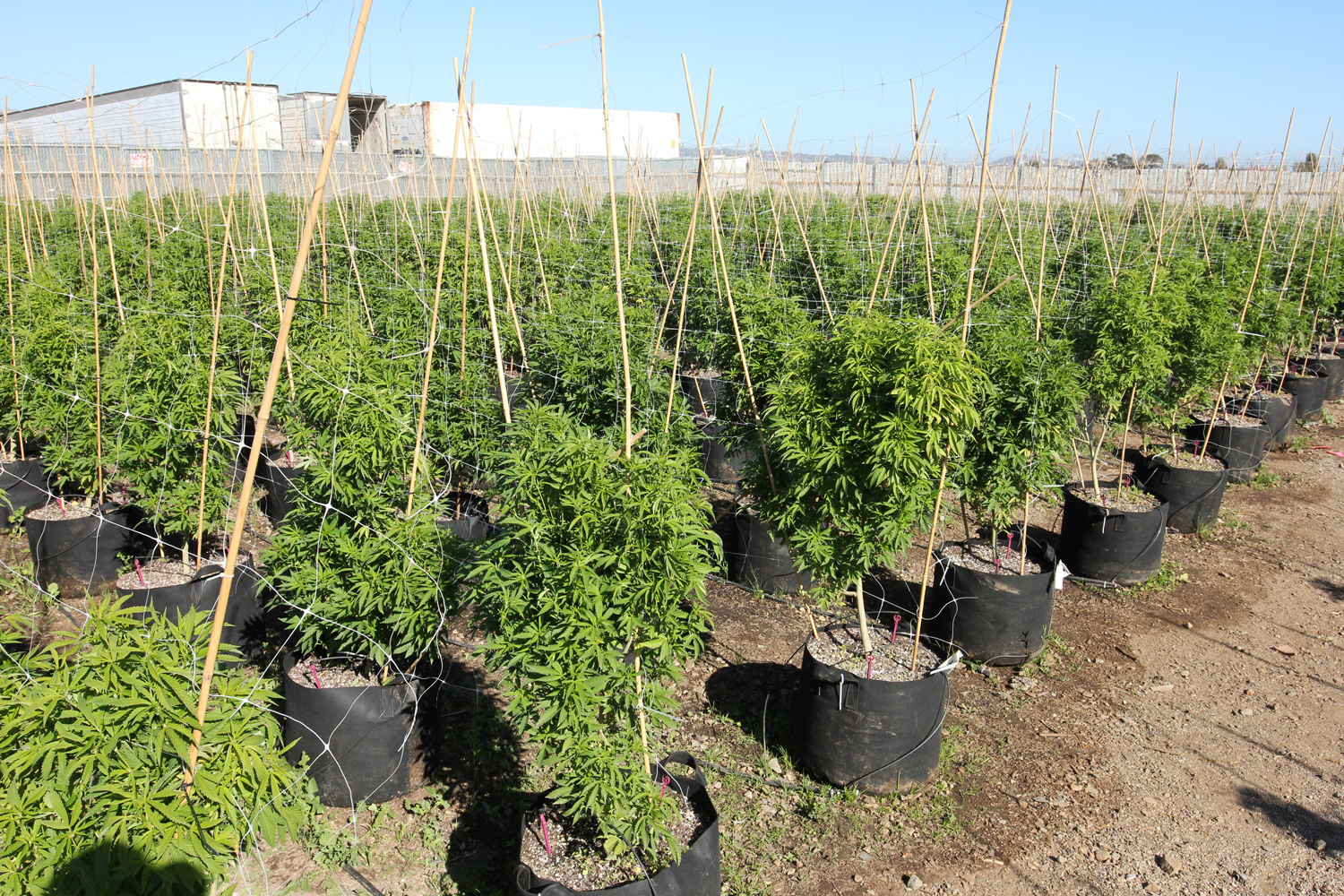Soon after placement, however, the marijuana plants started to look better. New growth, that is, the branches and leaves, have a fine field-green color and are far larger than indoor-grown foliage.