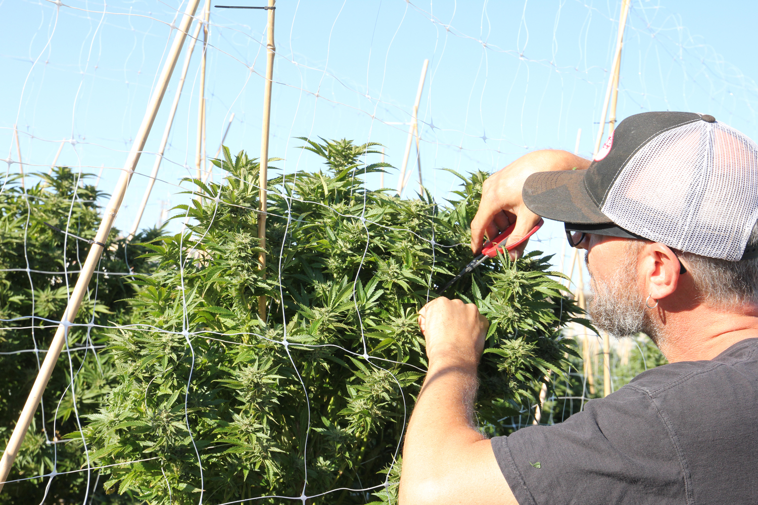 Clipping cannabis buds from the plants while in the field.