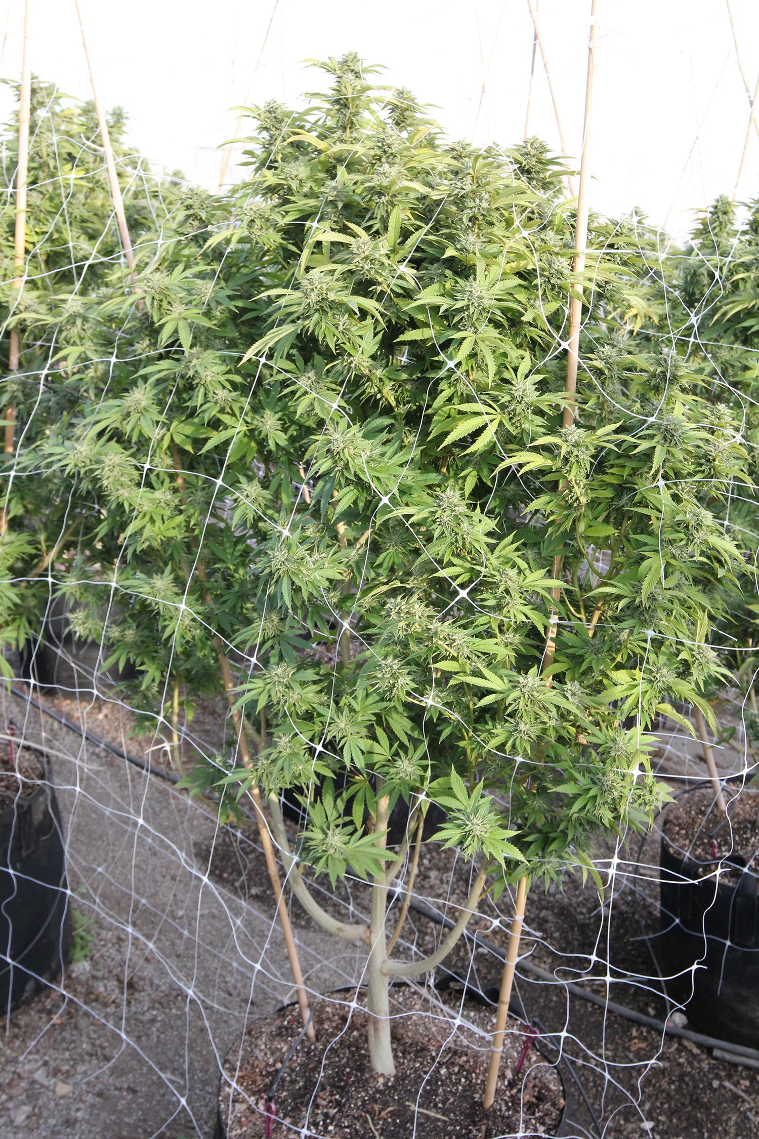 Photo: Espalier cannabis plant.