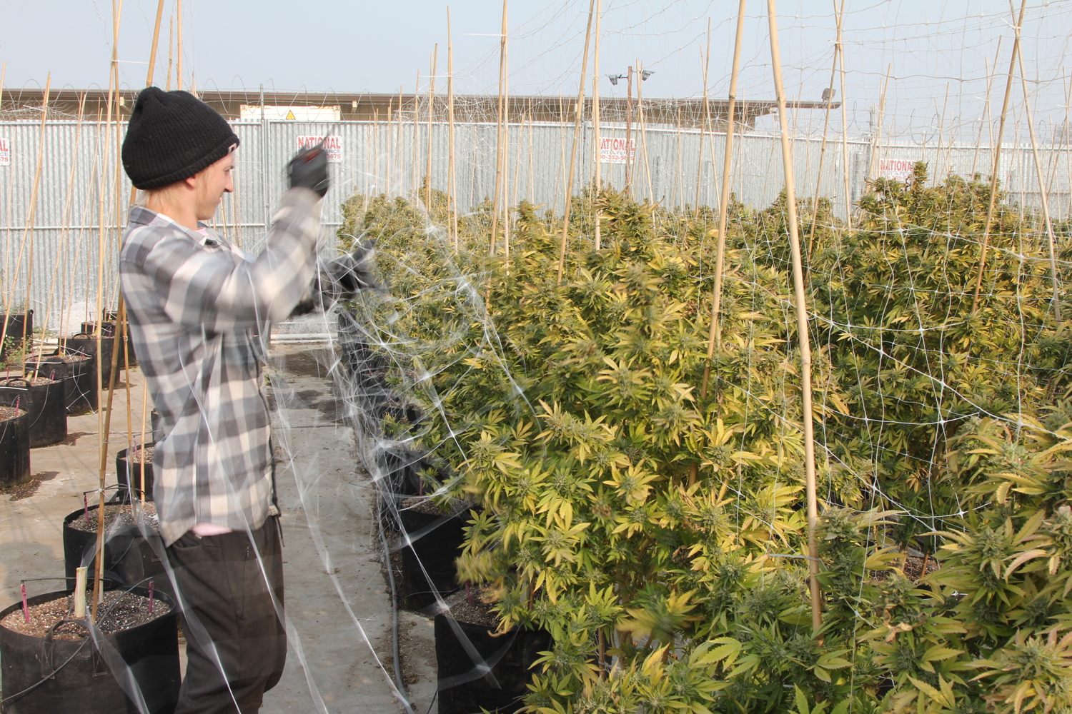 Pulling the trellis netting off the cannabis is the first step in the harvest process.
