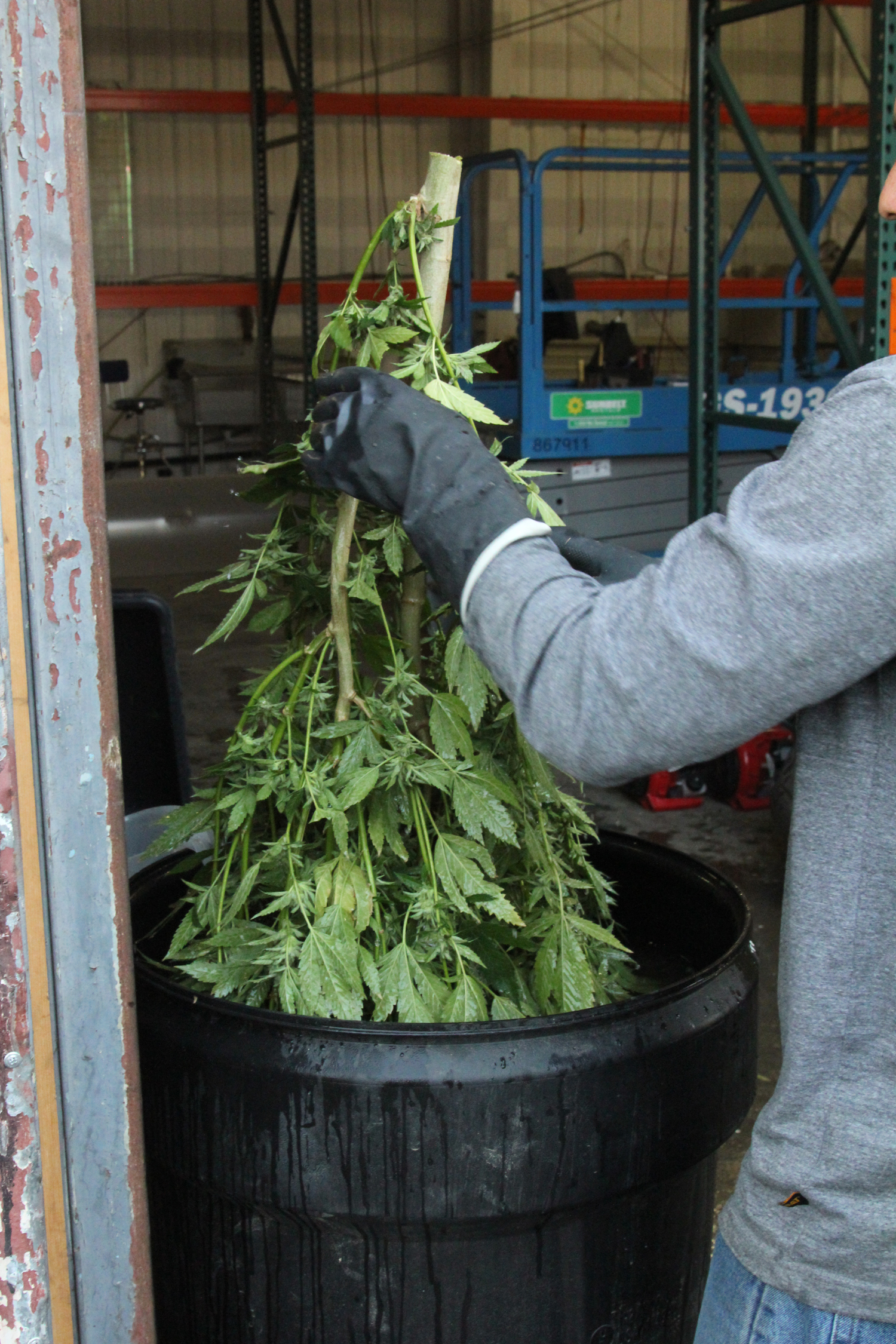 Changed to: Marijuana plants dunked in 1% hydrogen peroxide solution.