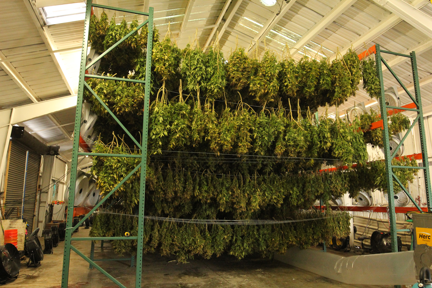 A massive cannabis drying rack is filled, with a battery of fans on each side to help the cannabis dry.