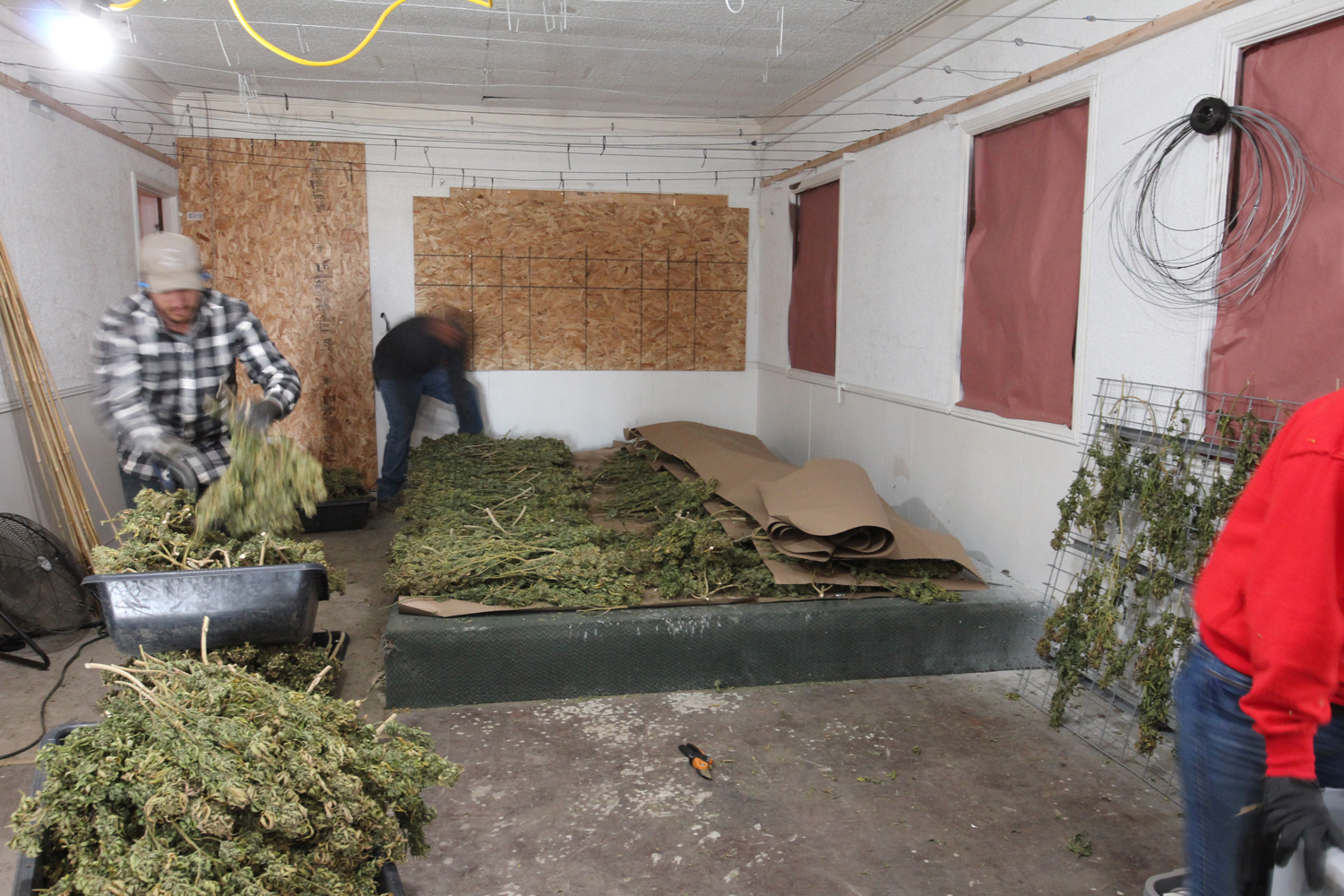 Cannabis curing area with marijuana plants stacked in layers between craft paper.