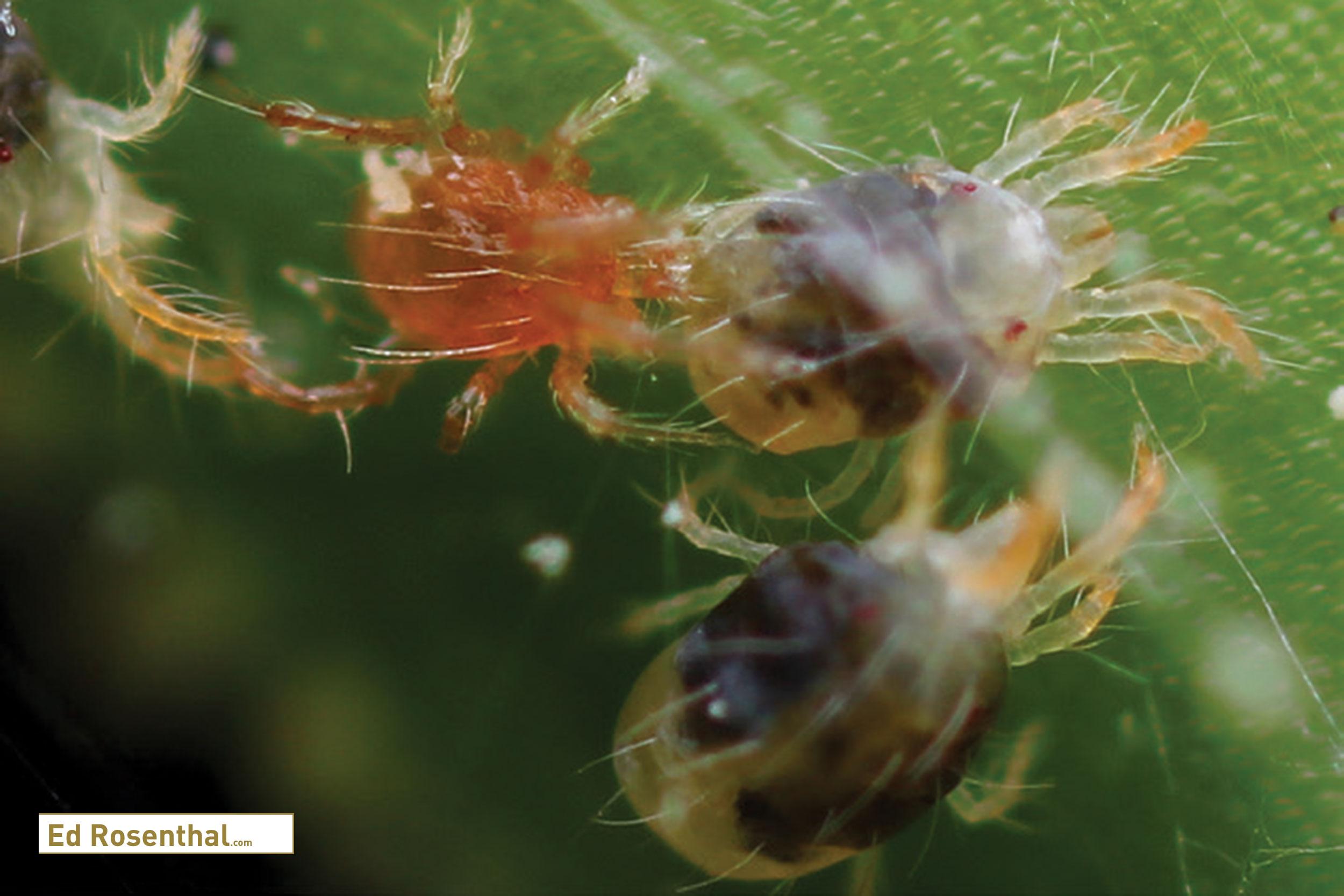 Mesoseiulus Longipes .  Photo by  Biotactics .