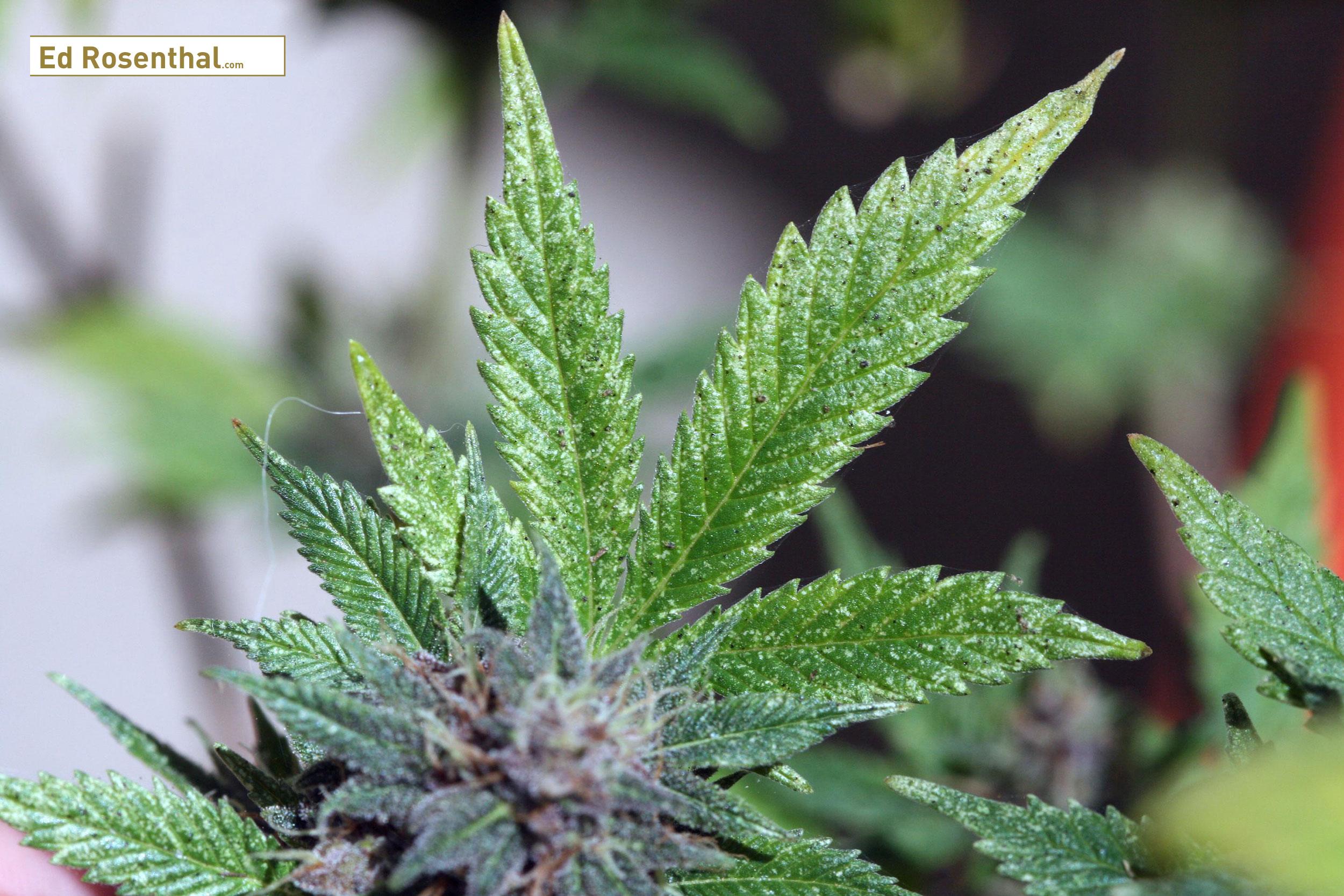 Spider mite damage on cannabis. Photo by W. Cranshaw, CSU,  Bugwood.org .