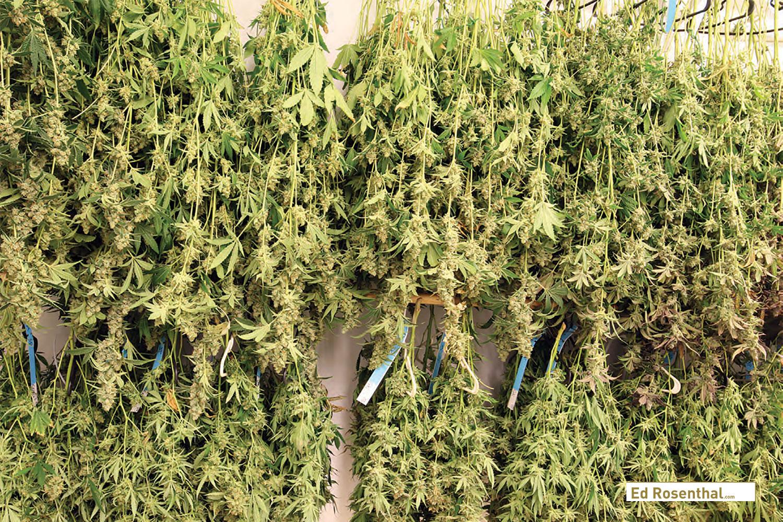 Fresh cut whole marijuana plants in the dry room.