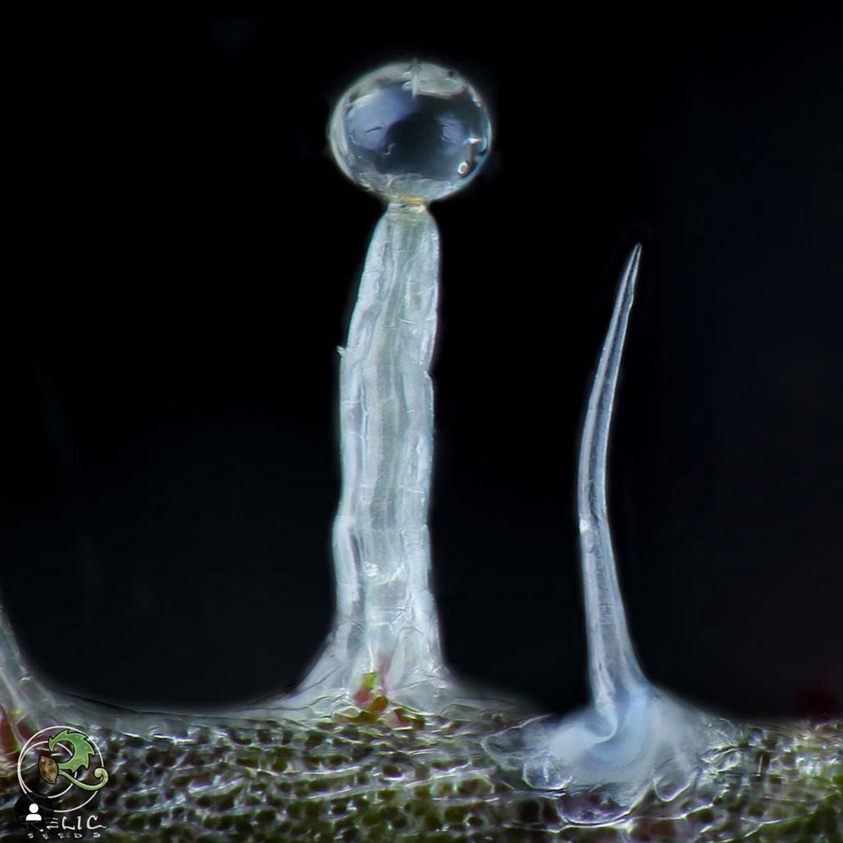 Left: Stalked Capitate Glandular Trichome. Photo by Professor P.  Dyntasty Genetics .