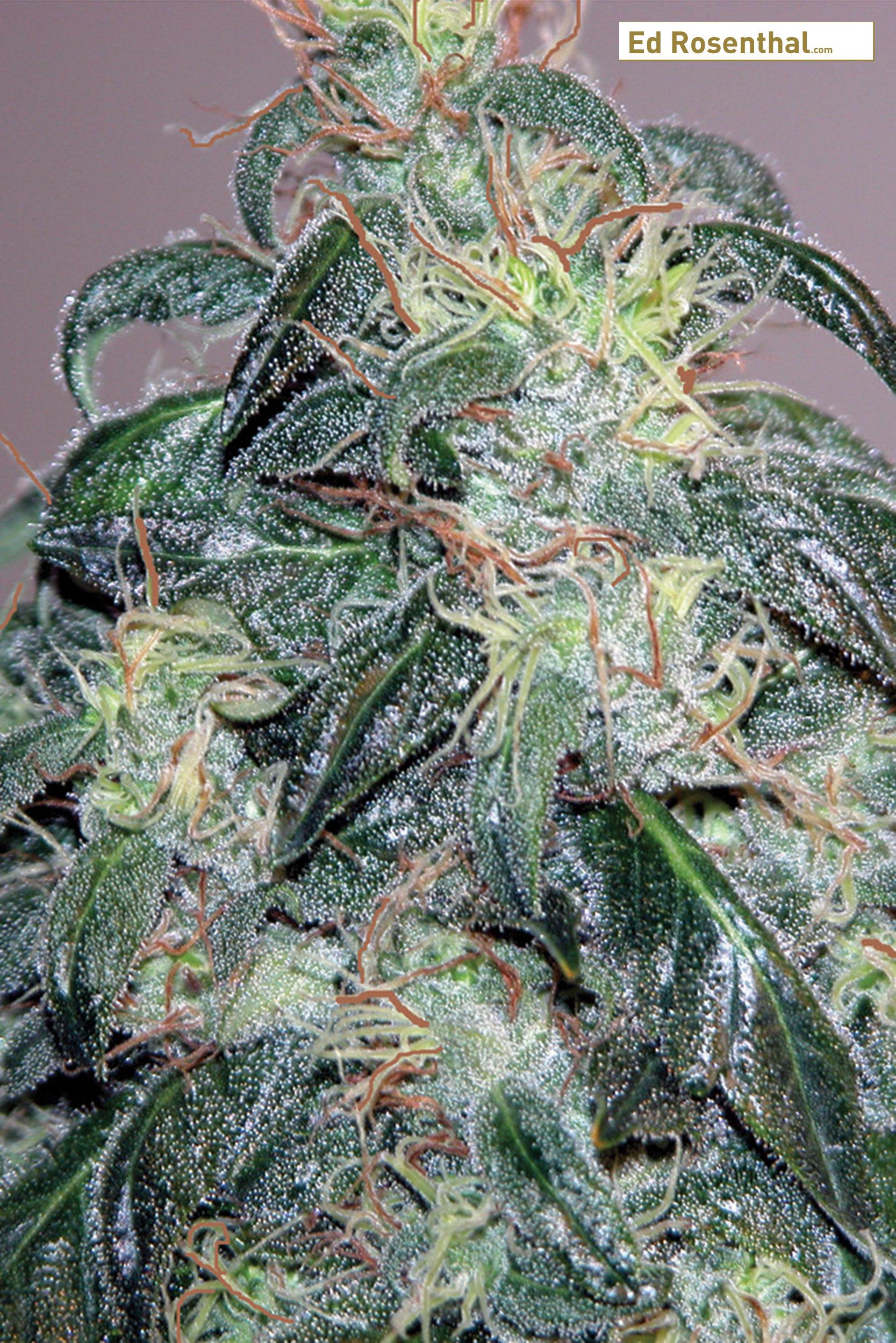 Week 7-8: Cannabis Bud