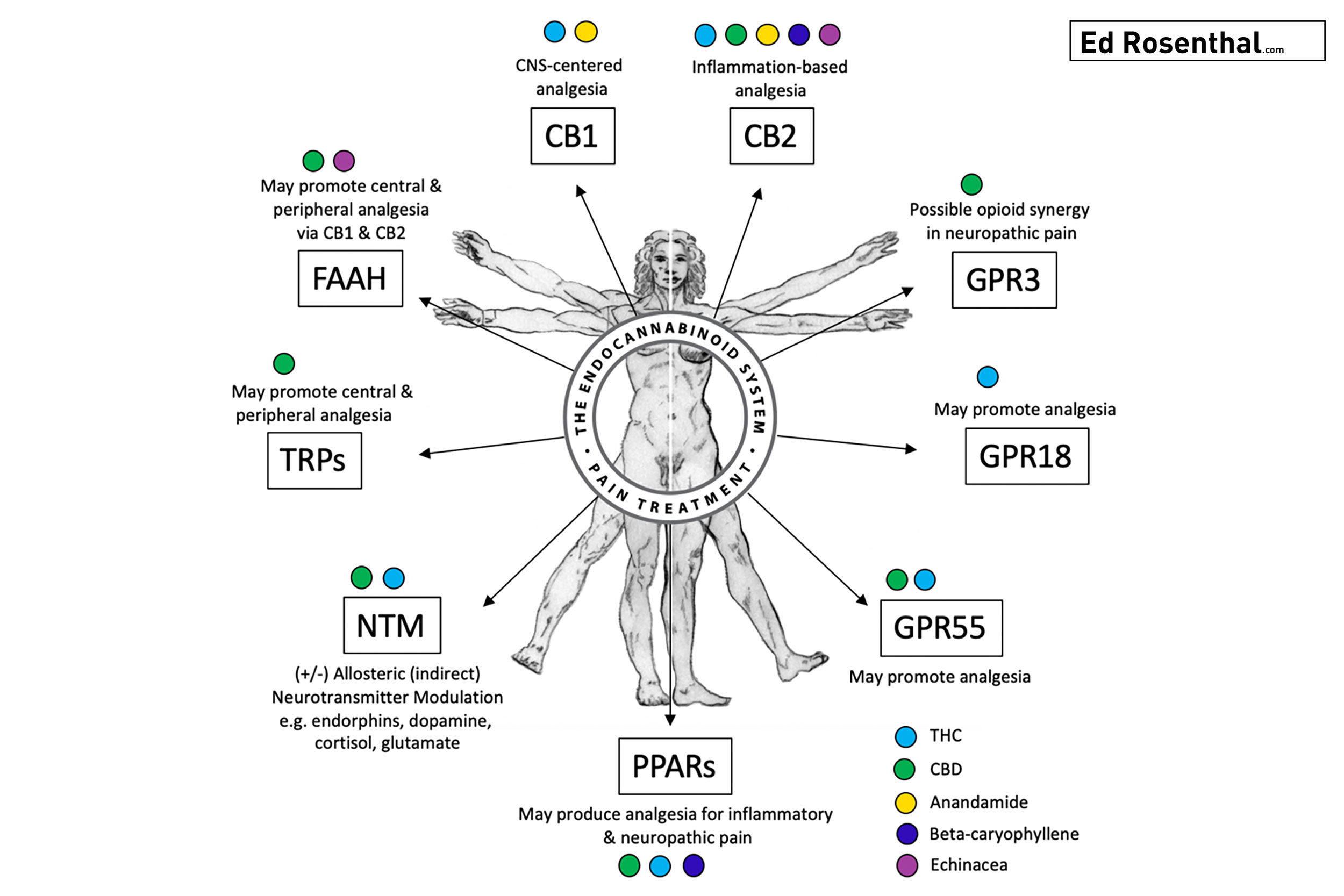 Endocannabinoid System Diagram:    The known pathways or mechanisms by which the endocannabinoid system produces analgesic effects in our body.