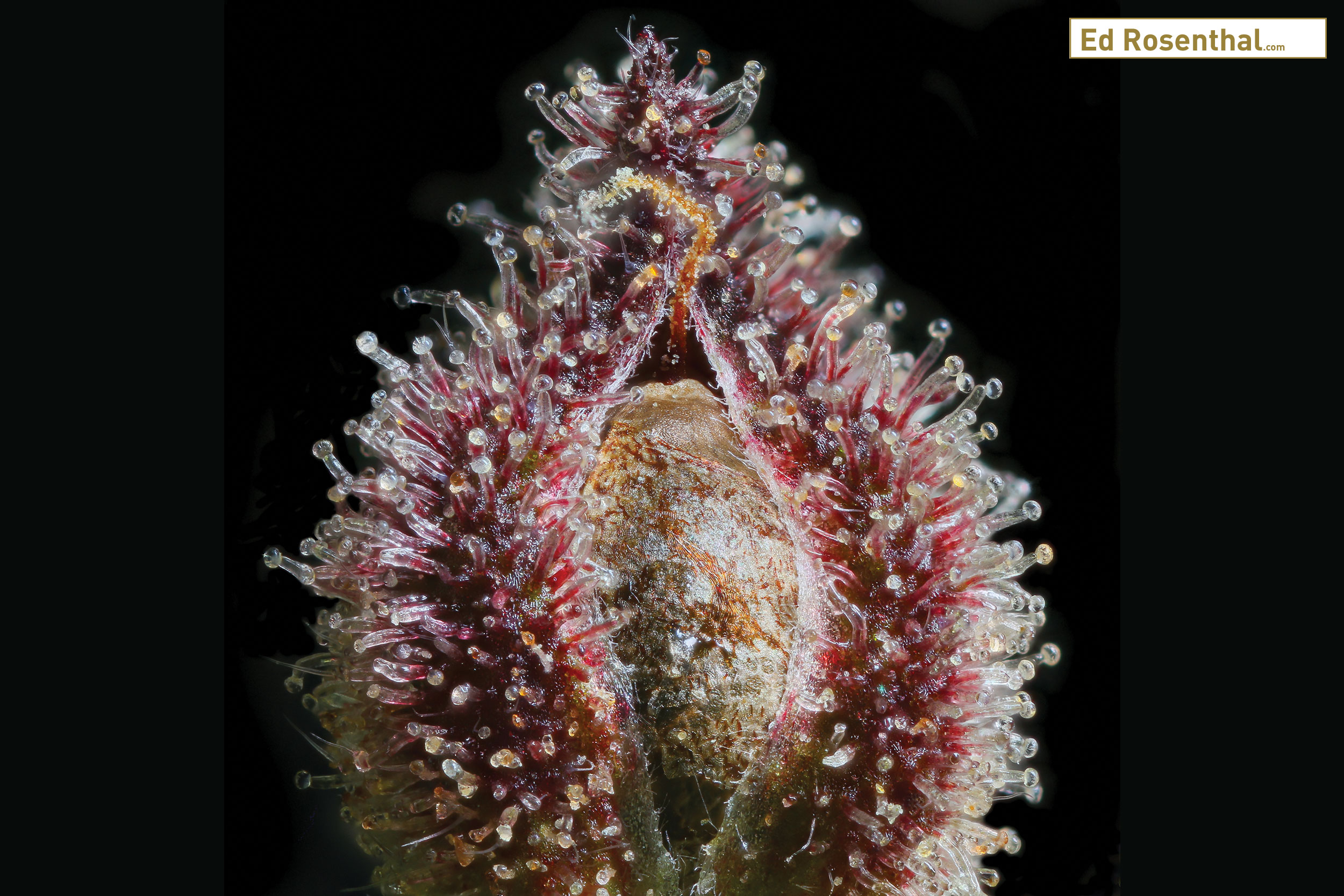 Micro shot of cannabis seed by  Dynasty Genetics .