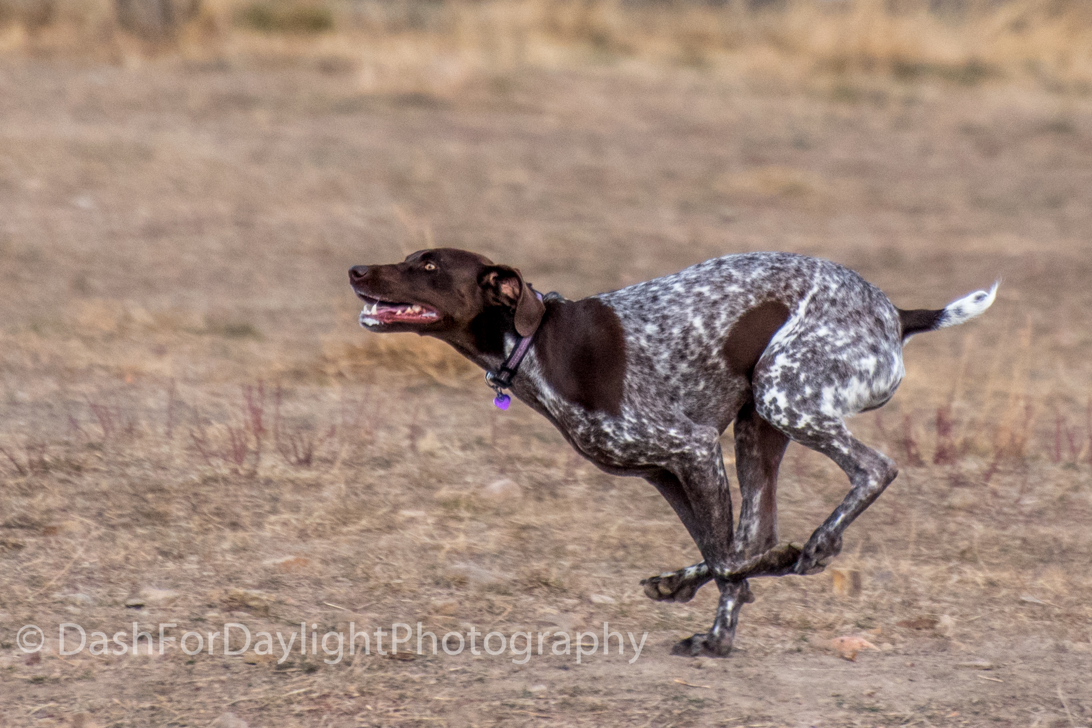 DSC_0871 German Shorthaired Pointer Flying