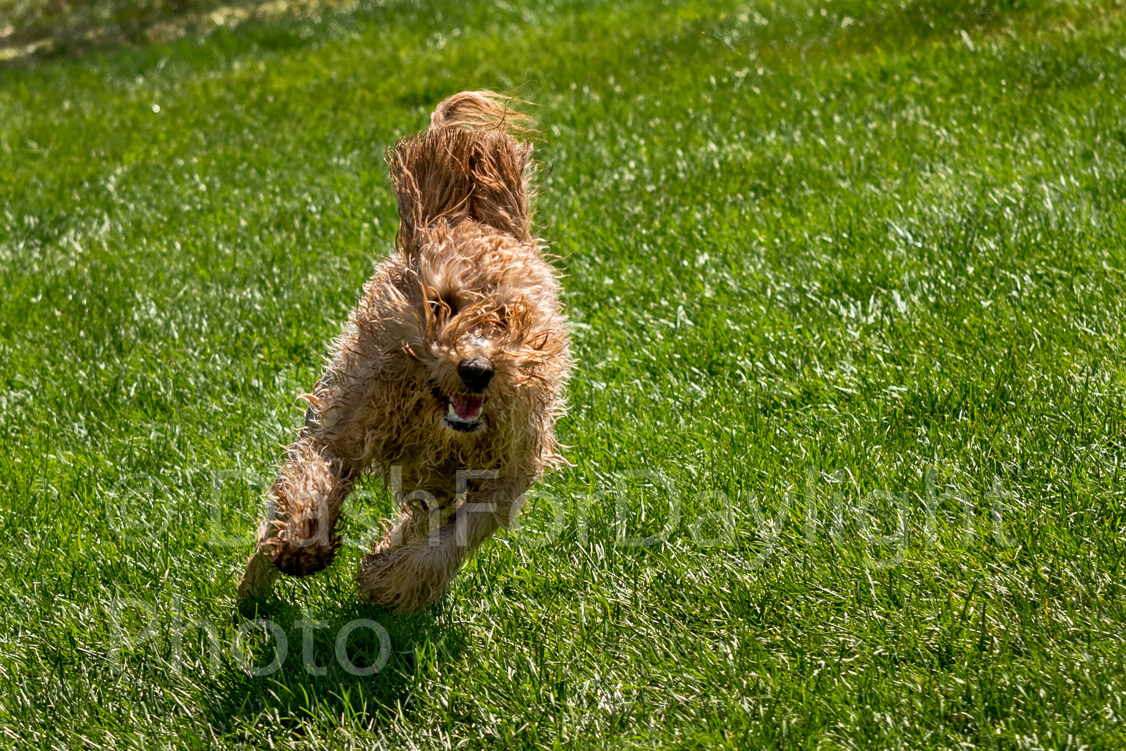 #1316 Goldendoodle Running outside the Pool