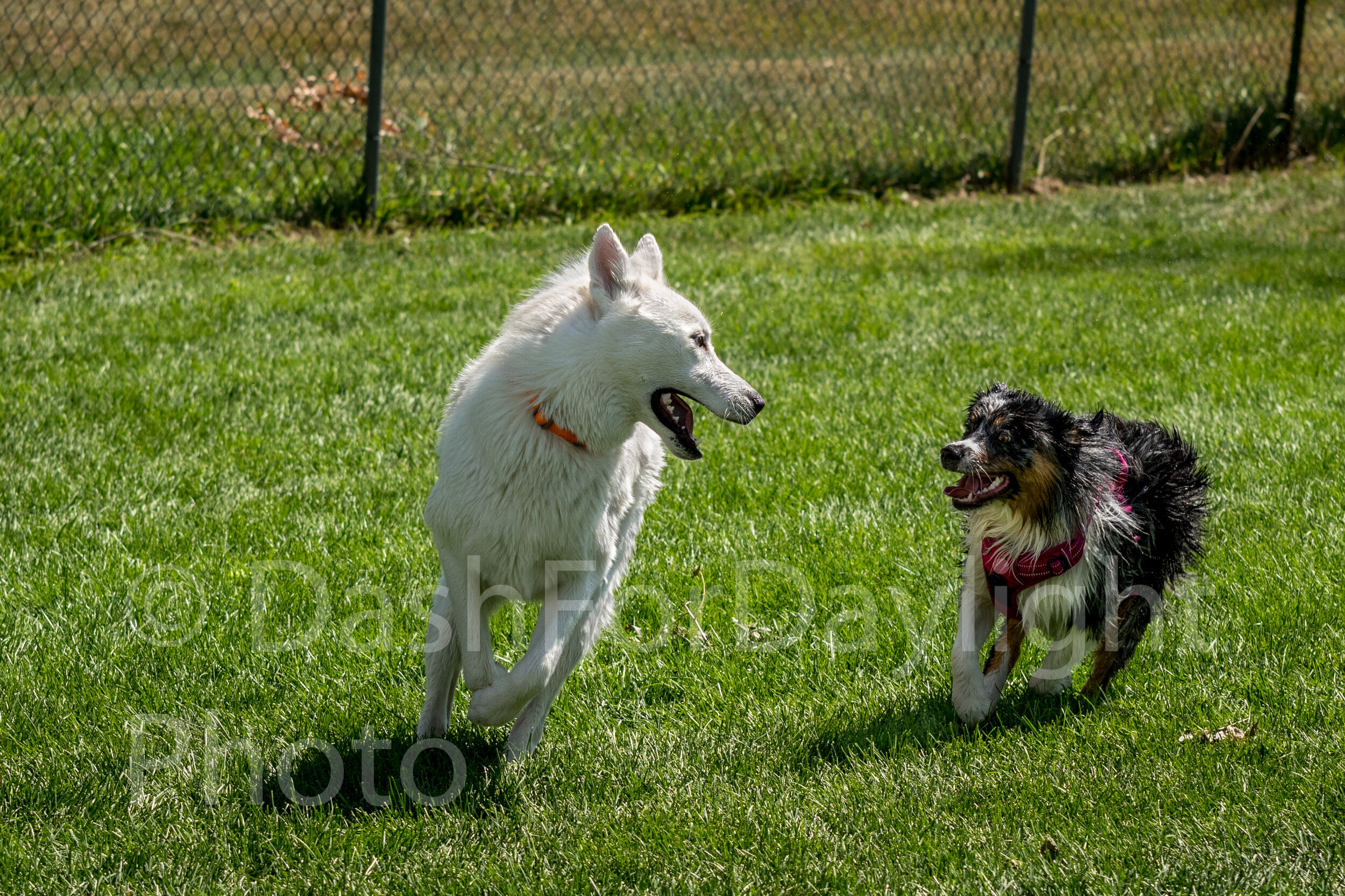 #1314 Aussie and Shepard Play in the Grass
