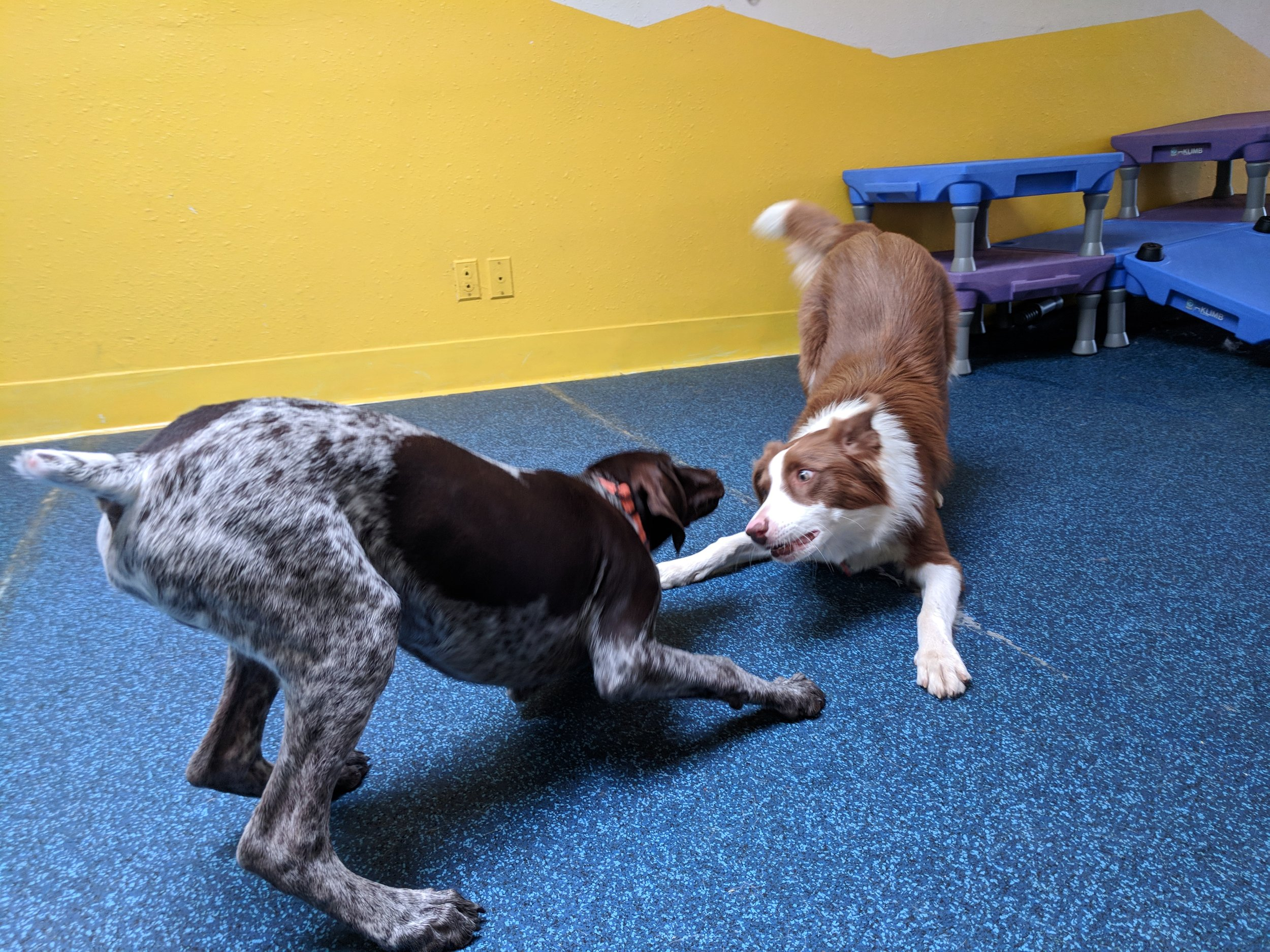 "Polite Play - As they say, prevention is the best medicine.  At PlayBow, we prevent accidents by encouraging polite communication between the dogs. Much like reminding small children the importance of sharing, or saying ""excuse me"", or ""please"", we encourage the dogs to keep their interactions polite and friendly. This requires us to recognize subtle signals of discomfort, bullying, or shyness. When needed, we step in to ensure the dogs are playing politely.Polite play is also how we derived our name. A"