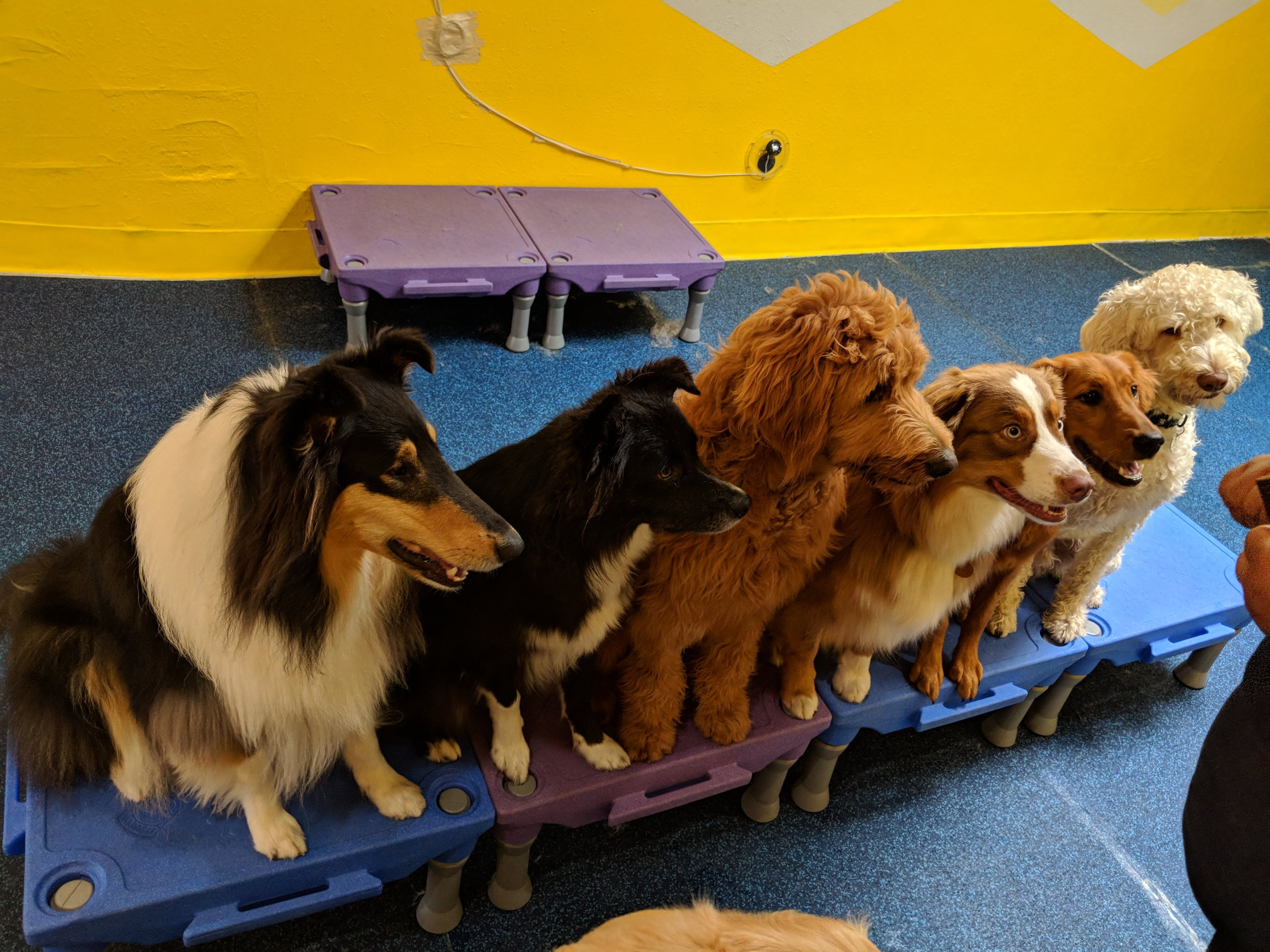 Positive Reinforcement - We believe dogs are more than just wrestle-monsters. They have clever minds, quick wits, and inspiring curiosity. These are important elements of each dog's personality, and we incorporate games and activities throughout the day to supplement their daily exercise with a broad spectrum of stimulation. We do not use force-based methods of dog handling such as intimidation, punishment, and infliction of pain. Instead, we keep it safe and fun, with delicious rewards for paw-fect behavior!