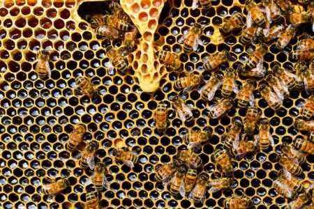 apis-mellifera-bee-beehive-56876-450x300.jpg