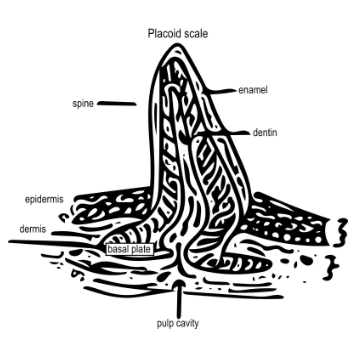 Shark scales (placoid scales)and shark teeth are made of the same materials and have the same general structure!
