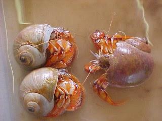 Hermit crab party.