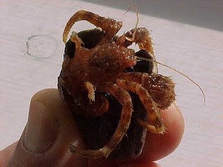 Hairy hermit crab in my hand.