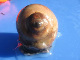 Moon snail.