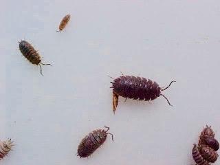 Sowbugs.