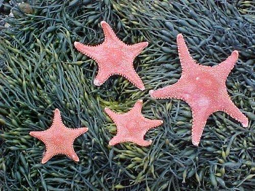 A group of horse stars laying on rockweed ( Ascophyllum nodosum )