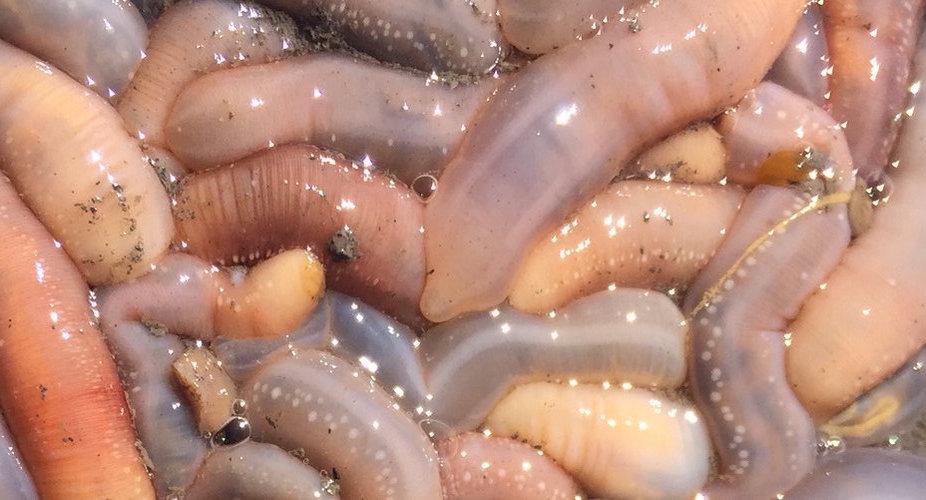 Sylky sea cucumbers.