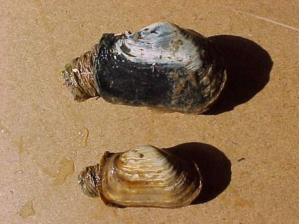 Two truncate clams on fine sand after being dug up.