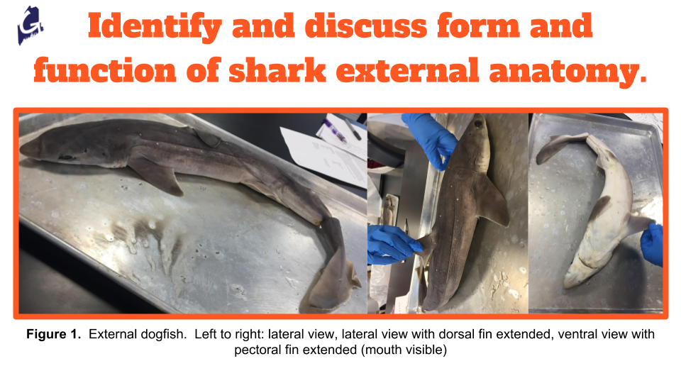 Example page from Gulf of Maine, Inc. Dogfish shark ( Squalus acanthias ) Dissection Guide.