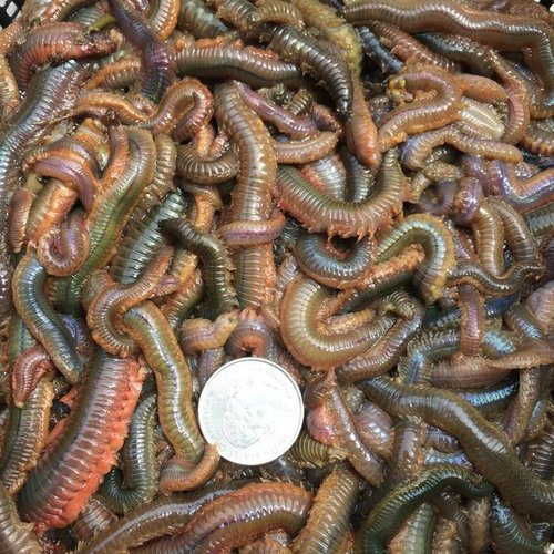 Sandworms wriggling in a bundle.