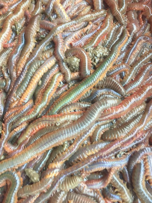 Worms.  Segmented marine worms are extremely diverse in their abilities and their colors.