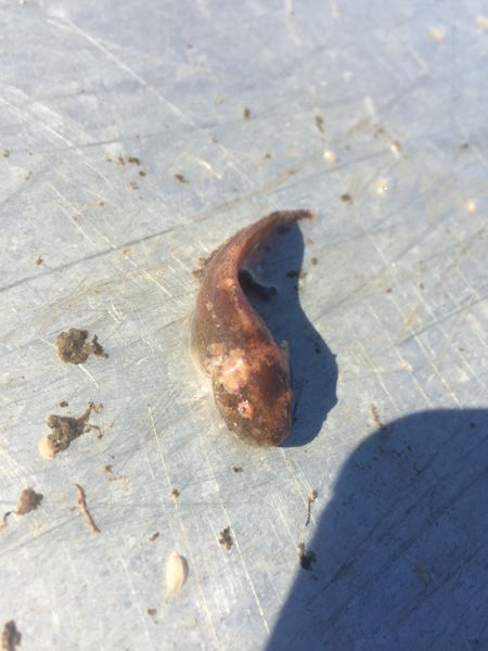 Sea snail (Liparidae)