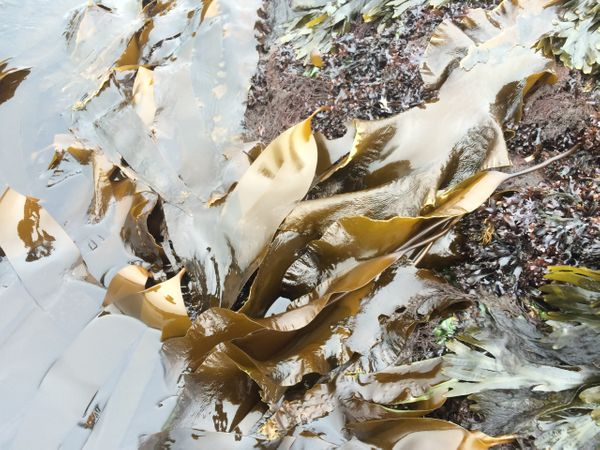 Sugar kelp, a Gulf of Maine brown seaweed.