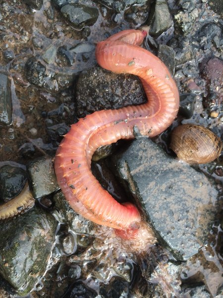 The front end of the worm toward the bottom of the photograph is tentacled.