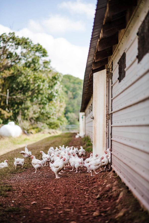 SVO-Organic-Free-Range-Chickens-display-04.jpg