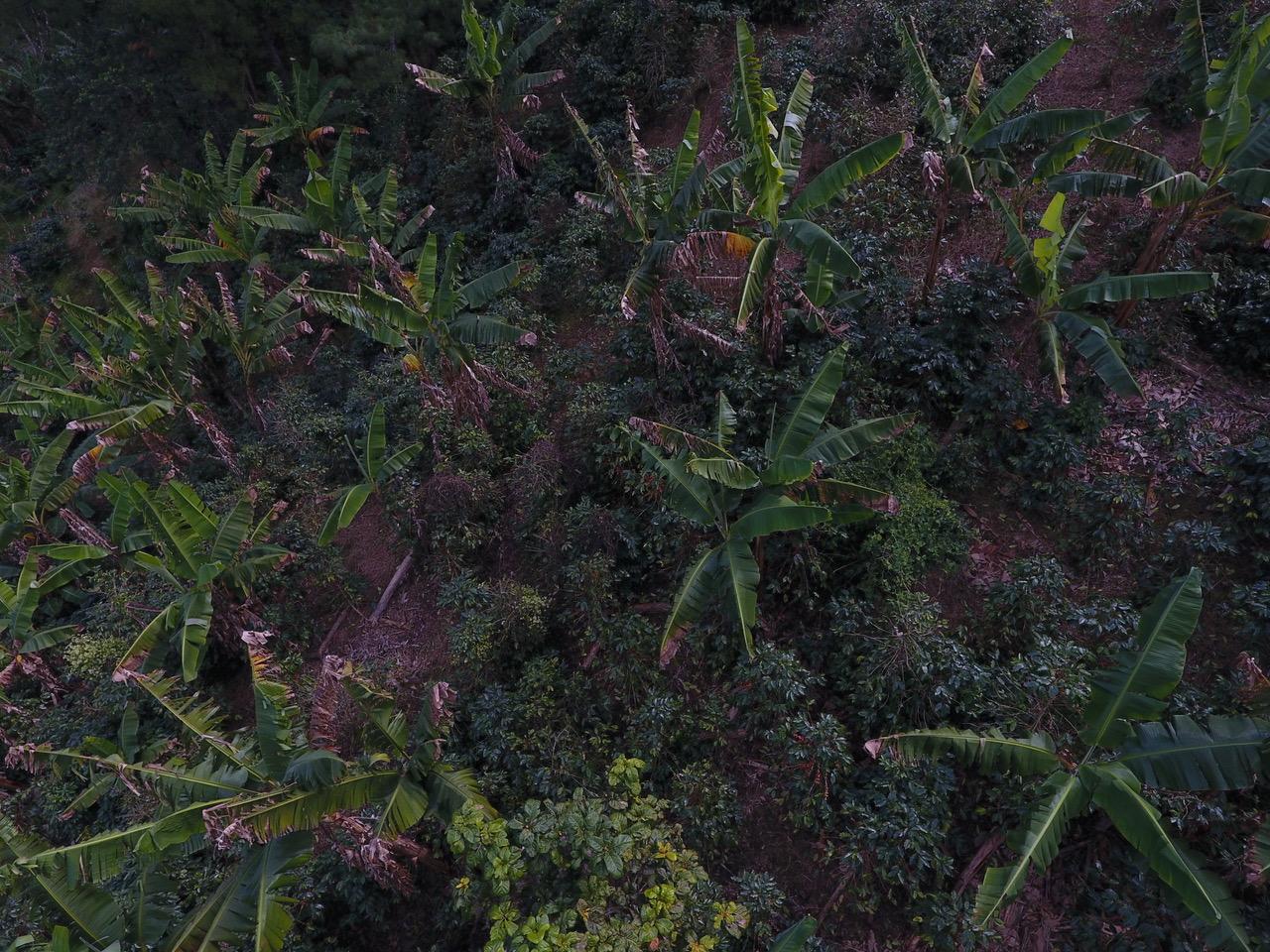 Honduras Finca Platanares, la piantagione