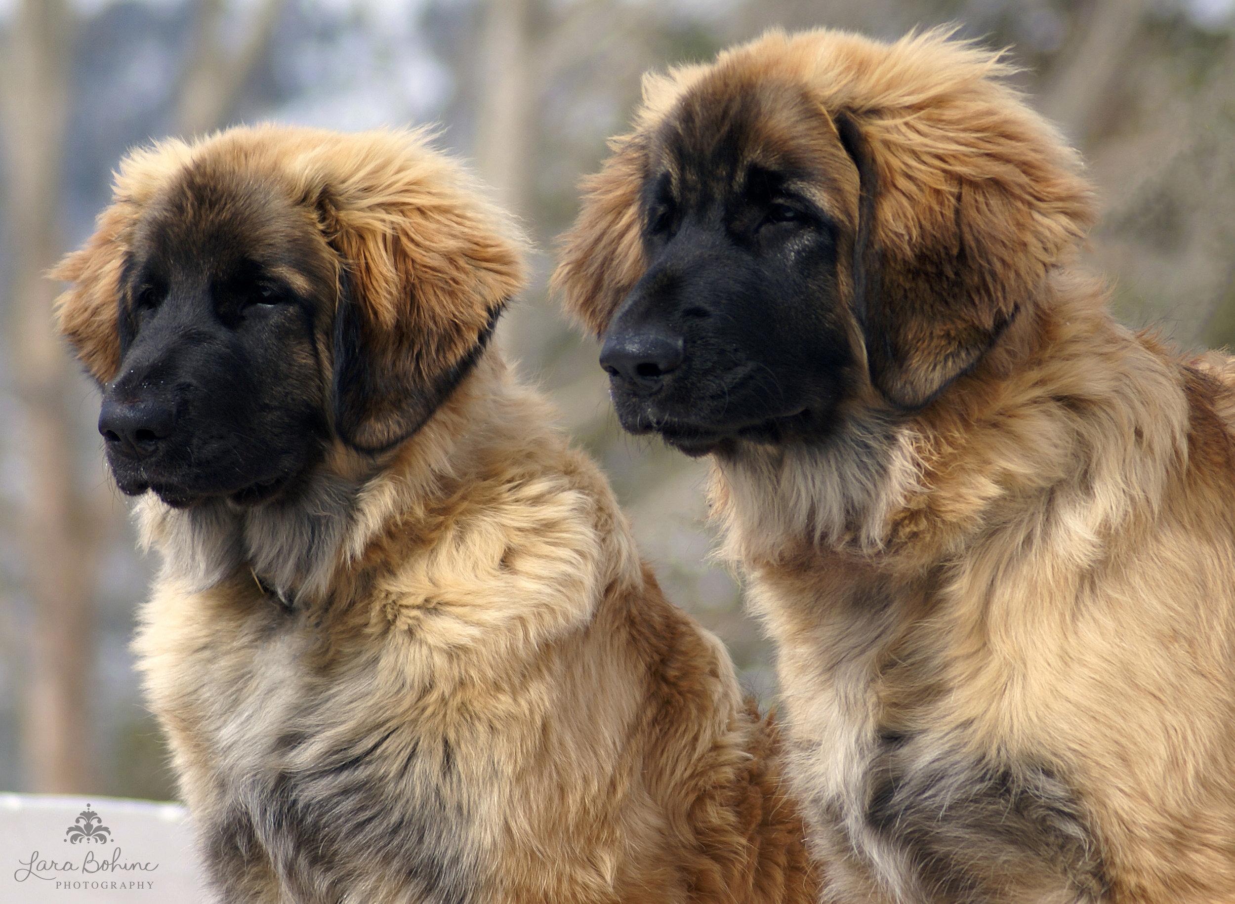 Colorado Puppies RECROPPEDjpg.jpg