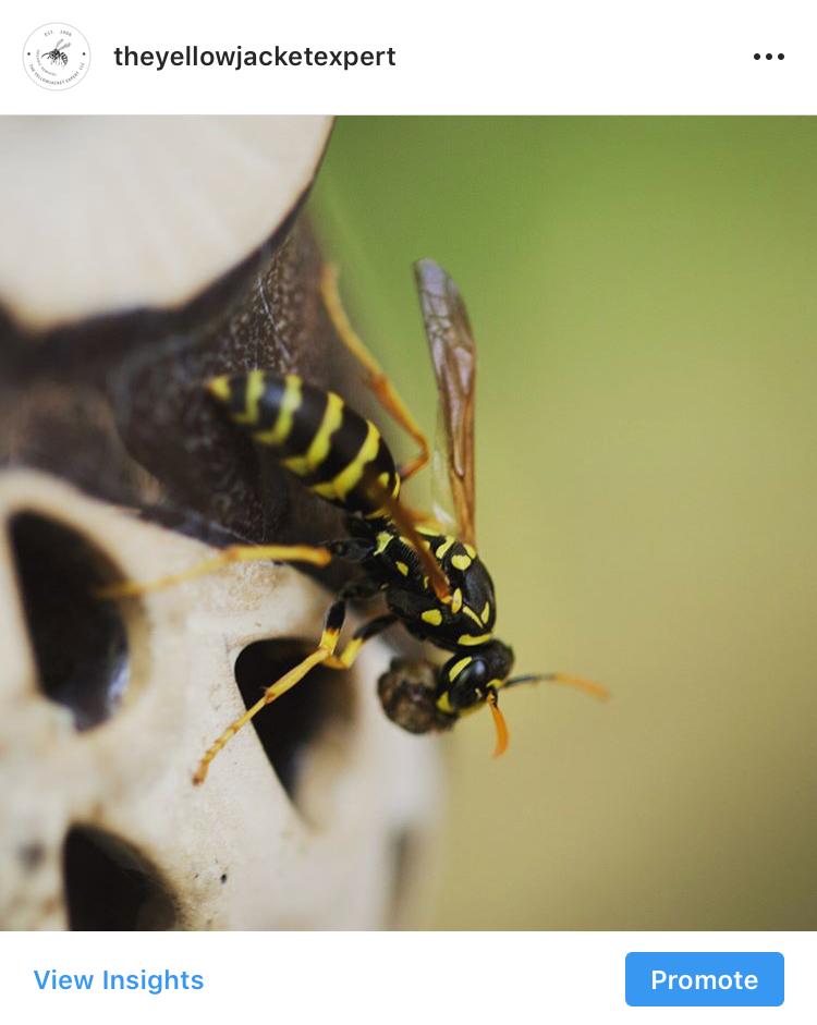 Germanica, YellowJacket, Bee, Summer2018
