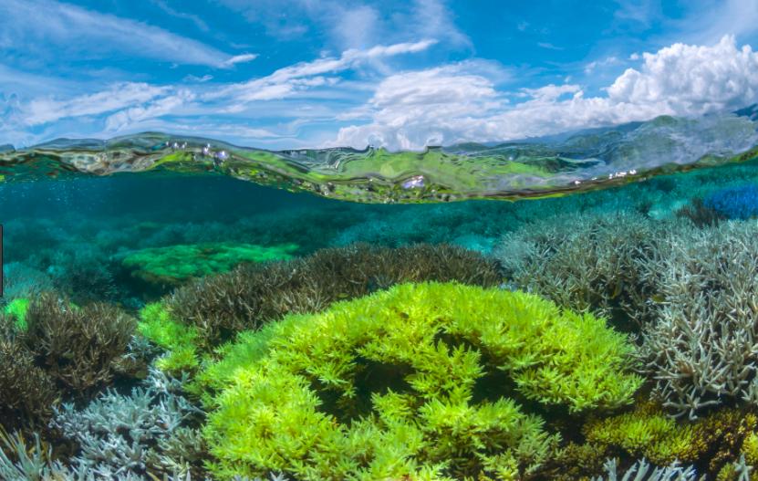 Corals fluorescing. Credit: The Ocean Agency / xl catlin seaview survey